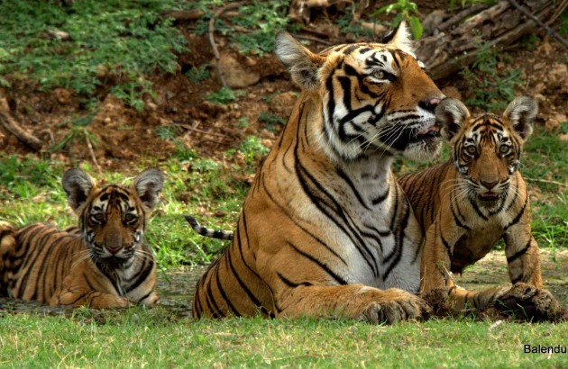 Tigers in Ranthambhore National Park. Photo: Balendu Singh