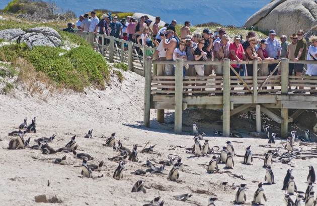 african-penguin-spheniscus-demersus-tourist-attraction-at-boulders-beach-south-africa_287b-2200x1461px