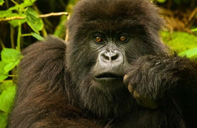 members-of-the-isabukuru-gorilla-family_5d88-2200x1466px