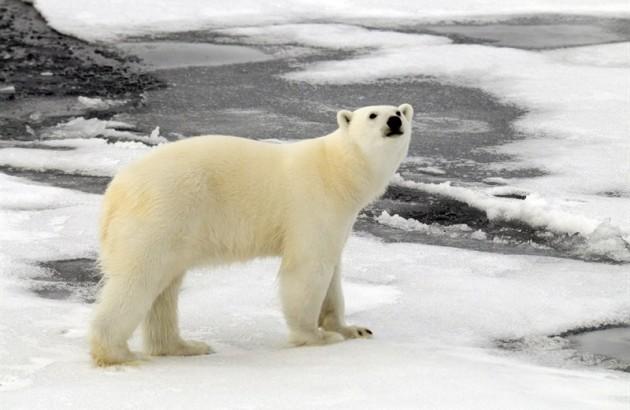polar-bear-ursus-maritimus-female-on-melting-sea-ice-franz-josef-land-russian-arctic-national-parka_2524-800x531px